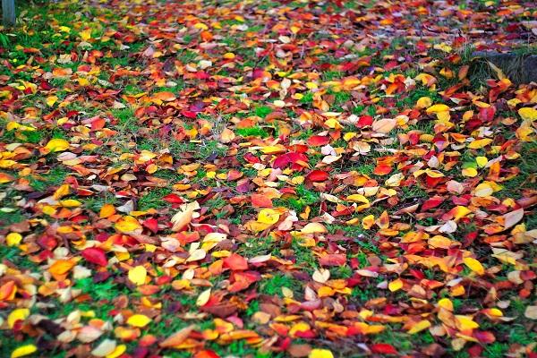 神戸のイチョウの落ち葉