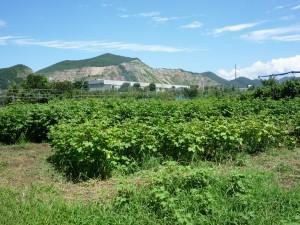 山と綿花畑