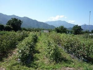 04里山と綿花畑