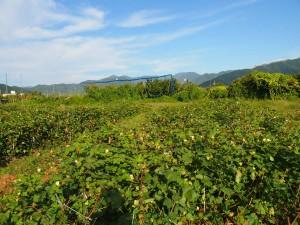 畑全体の風景 (1)