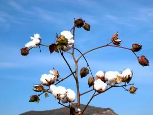 綿花畑のブランチ
