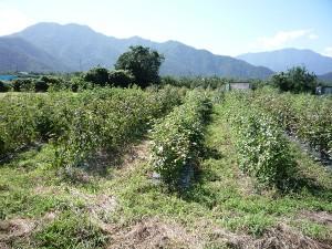 03綿花畑