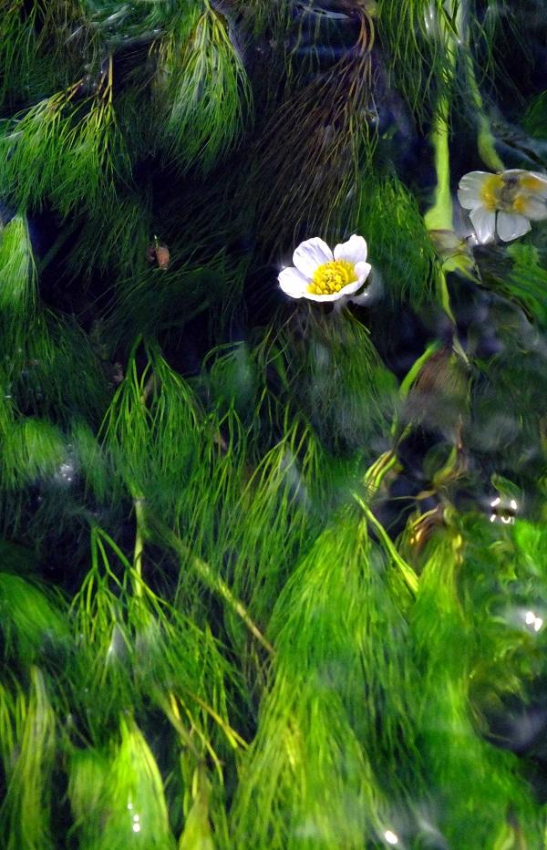 梅花藻(バイカモ) (1)